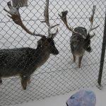 Hirsche im Schnee